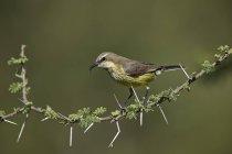 Beautiful female sunbird on tree branch — Stock Photo