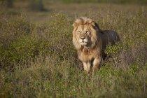 Leão, panthera leo — Fotografia de Stock