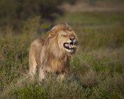 Löwe, Panthera Leo — Stockfoto