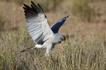 Sud chasse pâle d'autour des palombes scandant — Photo de stock