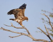 Tawny eagle on tree branch — Stock Photo