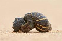 Lumaca di terra dell'Africa orientale due — Foto stock