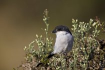 Fiscal shrike on tree branch — Stock Photo