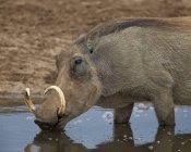 Warzenschwein aus Wasserloch zu trinken — Stockfoto