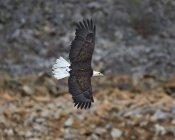 Белоголовый орлан в полете — стоковое фото