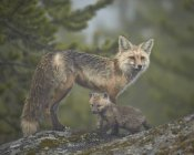 Red fox e kit de neblina — Fotografia de Stock