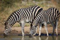 Two Common zebras drinking — Stock Photo
