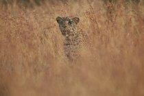 Léopard dans les hautes herbes — Photo de stock