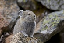 American Pika on stone — Stock Photo