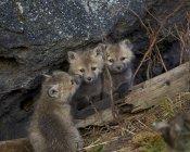 Червоний лисиць, комплекти — стокове фото