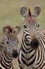 Commune de zèbres, de mère et de son petit — Photo de stock