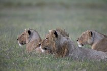 Lion and two lionesses — Stock Photo