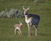 Pronghorn cow and calf — Stock Photo