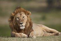 Лев, panthera leo — стоковое фото