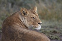Lionne, Panthera leo — Photo de stock