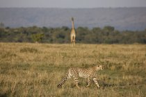 Geparden und Giraffeat Masai Mara National Reserve — Stockfoto