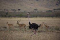 Maasai ostrich and impalas — Stock Photo