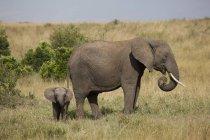 Afrikanische Elefanten, Loxodonta africana — Stockfoto