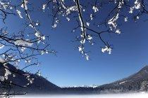 Branches d'arbres recouverts de neige — Photo de stock