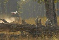 Хануман Langurs на дерев'яних журналу — стокове фото