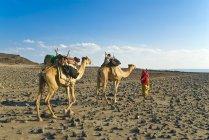 Afar Stamm Frau mit Kamelen — Stockfoto