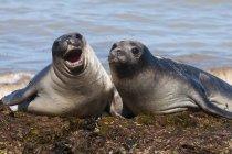 Elephant seals on seashore — Stock Photo