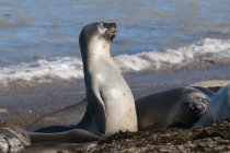 Elephant seals on seashore — Stock Photo