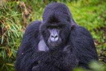 Крупным планом зрения горные гориллы — стоковое фото