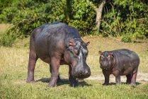 Hippopotamus mother with baby — Stock Photo