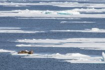 Drei Walross auf Schelfeis — Stockfoto