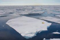 Белый медведь на льдине — стоковое фото