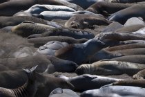 Elephant seals moulting — Stock Photo