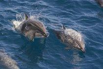 Clymene dolphins in habitat — Stock Photo