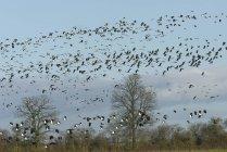 Dense flock of lapwings flying over flooded pastureland — Stock Photo