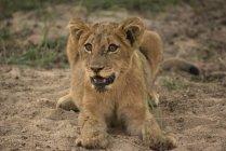 Cucciolo di leone che si trova sulla terra — Foto stock