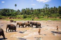Parade of elephants crossing river — Stock Photo