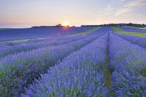 Lavender field at Snowshill Lavender — Stock Photo
