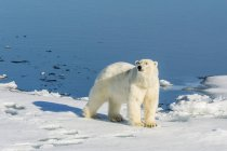 Young polar bear on ice — Stock Photo