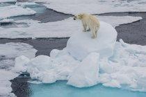 Молодой белый медведь на льду — стоковое фото