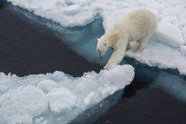Jeune ours polaire sur la glace — Photo de stock