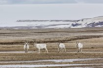 Young Svalbard reindeer in field — Stock Photo