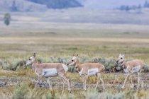 Вилорог антилоп в Долина Lamar — стоковое фото
