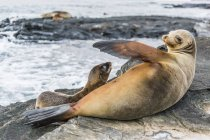 Galapagos sea lions in Galapagos Islands — Stock Photo