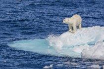 Adult polar bear on ice — Stock Photo