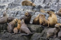 Ican sea lions in breeding colony — Stock Photo