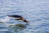 Pingüino de Gentoo zambullirse en agua - foto de stock