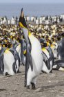 Pinguins rei, Aptenodytes patagonicus — Fotografia de Stock
