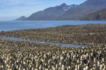 Королевские пингвины, императорские patagonicus — стоковое фото