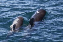 Short-finned pilot whale in water — Stock Photo