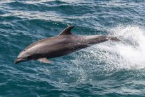 Bottlenose dolphin jumping over water — Stock Photo
